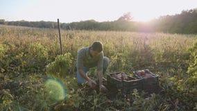 Fazendeiro que escava acima com um showel e que colhe batatas doces no campo filme