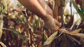 Fazendeiro que escolhe o milho maduro na espiga no campo de milho agrícola cultivado filme