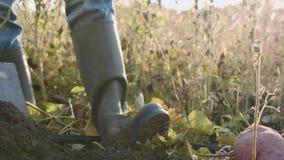 Fazendeiro que guarda a colheita fresca da batata doce nas mãos e que inspeciona a, close-up vídeos de arquivo