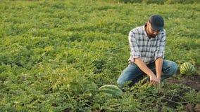 Fazendeiro que inspeciona a colheita da melancia no campo video estoque