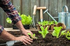 Fazendeiro que planta plântulas novas Imagens de Stock
