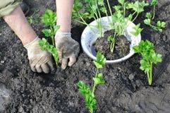 Fazendeiro que planta uma plântula do aipo Fotografia de Stock