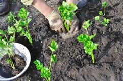 Fazendeiro que planta uma plântula do aipo Imagem de Stock Royalty Free