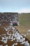 Fazendeiro que ploughing com gaivotas Imagem de Stock