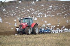 Fazendeiro que ploughing com seguimento das gaivotas Foto de Stock