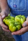Fazendeiro que prende pimentas verdes Imagens de Stock