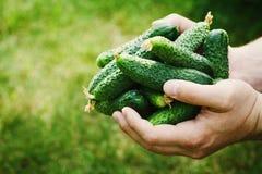 Fazendeiro que realiza nas mãos a colheita de pepinos verdes no jardim Vegetais naturais e orgânicos cultivar imagem de stock royalty free