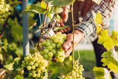 Fazendeiro que recolhe a colheita das uvas na exploração agrícola ecológica Uvas do corte do homem superior com tesoura de podar  fotos de stock