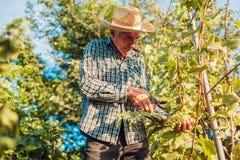 Fazendeiro que recolhe a colheita das uvas na exploração agrícola ecológica Uvas do corte do homem superior com tesoura de podar  foto de stock royalty free