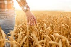 Fazendeiro que toca em sua colheita com mão em um campo de trigo dourado Colhendo, conceito do cultivo orgânico imagens de stock royalty free