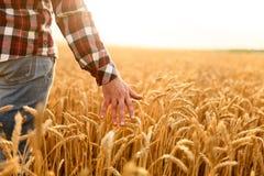 Fazendeiro que toca em sua colheita com mão em um campo de trigo dourado Colhendo, conceito do cultivo orgânico fotos de stock
