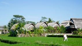Fazendeiro que trabalha duramente no campo do arroz em Bali video estoque