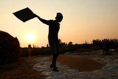 Fazendeiro que trabalha em um campo do arroz no por do sol Imagens de Stock