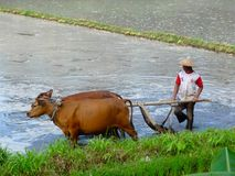 Fazendeiro que trabalha na almofada de arroz Foto de Stock Royalty Free