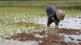 Fazendeiro que trabalha na terra do arroz 'paddy'. filme