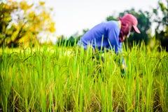 Fazendeiro que trabalha no campo do arroz, arroz do foco Imagens de Stock
