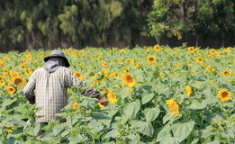 Fazendeiro que trabalha no campo do girassol Foto de Stock Royalty Free