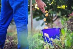 Fazendeiro que trabalha no jardim que colhe batatas orgânicas frescas imagem de stock royalty free