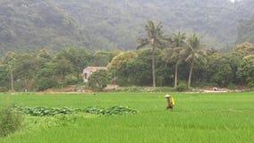 Fazendeiro que trabalha nos campos do arroz video estoque