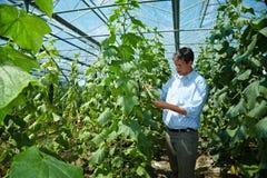 Fazendeiro que verific pepinos Fotografia de Stock