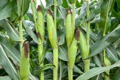 Fazendeiro que verifica a colheita do milho Fotos de Stock