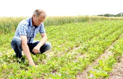 Fazendeiro que verifica o campo do feijão de soja imagem de stock