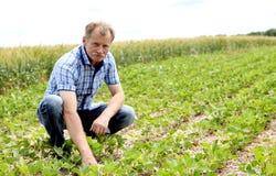 Fazendeiro que verifica o campo do feijão de soja fotos de stock