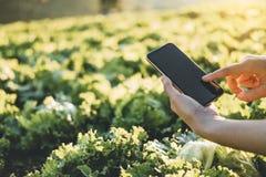Fazendeiro que verifica o touchpad na couve Fram de Nappa no verão imagens de stock royalty free