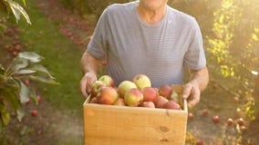 Fazendeiro superior, colhendo uma maçã Por do sol Um fazendeiro em seu jardim com maçãs em uma caixa de madeira O homem está trab filme