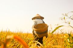 Fazendeiro superior indonésio em campos amarelos do arroz Fotografia de Stock Royalty Free