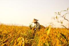 Fazendeiro superior indonésio em campos do arroz Imagens de Stock