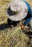 Fazendeiro tailandês que colhe o arroz Fotos de Stock