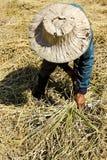 Fazendeiro tailandês que colhe o arroz Imagens de Stock Royalty Free
