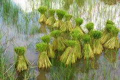 Fazendeiro tailandês que planta na terra do arroz 'paddy' Fotos de Stock