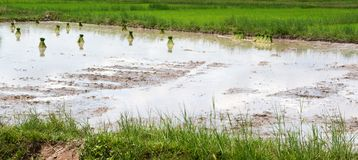 Fazendeiro tailandês que planta na terra do arroz 'paddy' Fotos de Stock Royalty Free