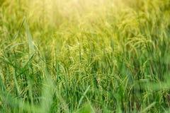 Fazendeiro verde da almofada dos campos do arroz foto de stock royalty free