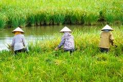 Fazendeiro vietnamiano que colhe o arroz no campo Foto de Stock