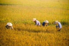 Fazendeiro vietnamiano que colhe o arroz no campo Imagem de Stock Royalty Free