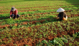 Fazendeiro vietnamiano que trabalha na exploração agrícola vegetal Fotografia de Stock