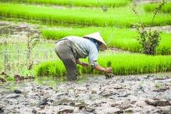 Fazendeiro vietnamiano que trabalha no campo do arroz Ninh Binh, Vietnam Fotos de Stock Royalty Free