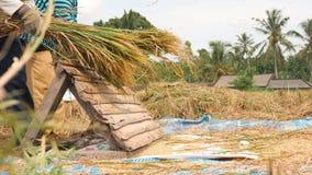 Fazendeiros asiáticos que colhem o arroz em Paddy Field 4K Bali, Indonésia vídeos de arquivo
