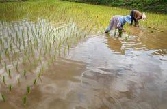 Fazendeiros com as plântulas de transplantação do arroz do chapéu de palha no campo de almofada Imagem de Stock Royalty Free