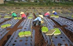 Fazendeiros de Vietname que cultivam a alface no campo Fotografia de Stock