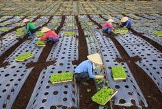 Fazendeiros de Vietname que cultivam a alface no campo Imagens de Stock Royalty Free