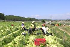 Fazendeiros de Vietname que cultivam a alface no campo Imagem de Stock Royalty Free