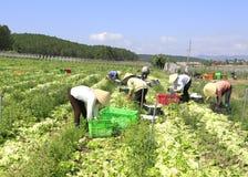 Fazendeiros de Vietname que cultivam a alface no campo Foto de Stock
