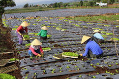 Fazendeiros de Vietname que cultivam a alface no campo Fotos de Stock Royalty Free