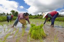 Fazendeiros do arroz em Tailândia Fotos de Stock Royalty Free