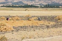 Fazendeiros do grão-de-bico que trabalham em seu campo Imagem de Stock