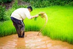 Fazendeiros e arroz Foto de Stock Royalty Free